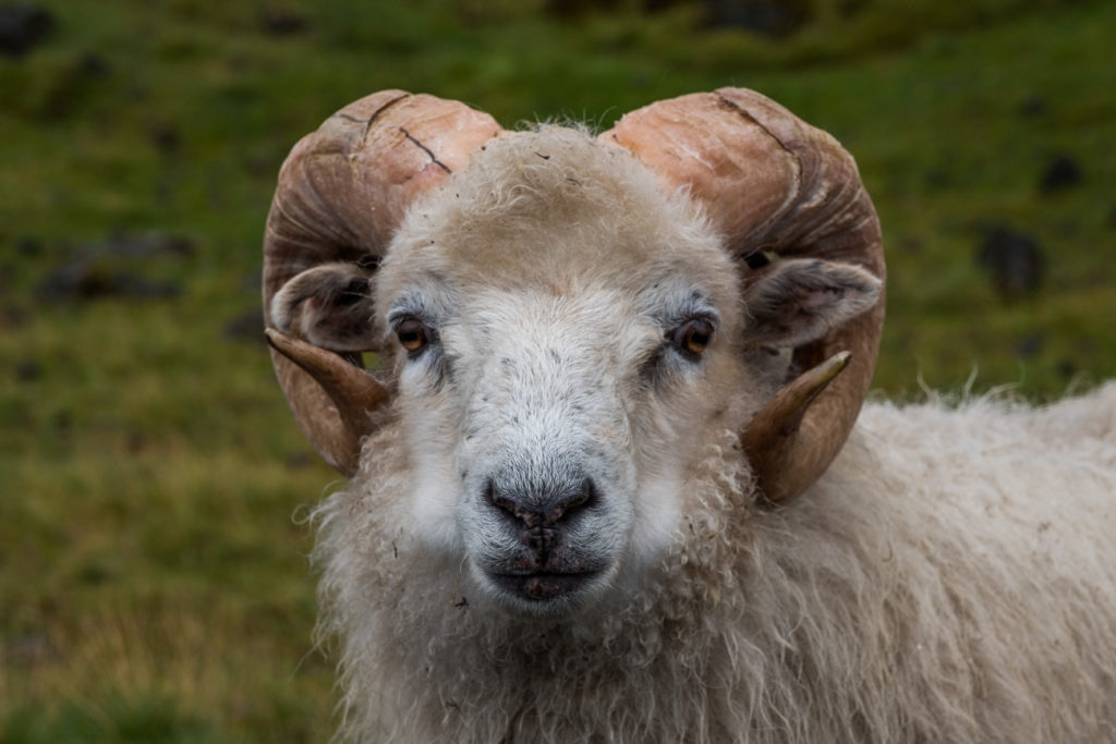 A white sheep in Gjogv looking into the camera