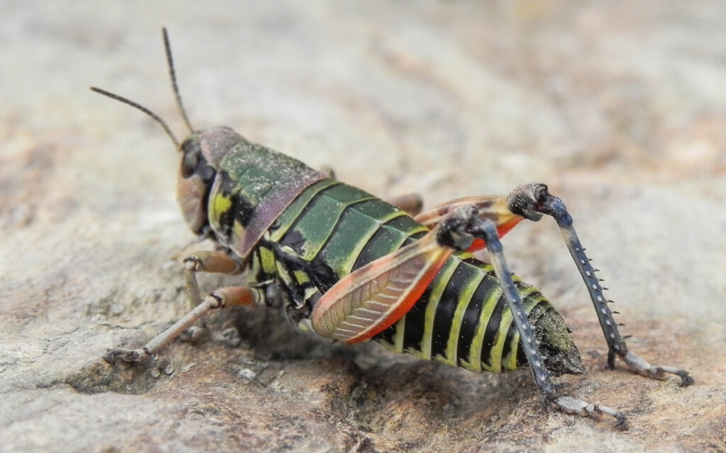 Colorful Grasshopper in detail with hairy legs