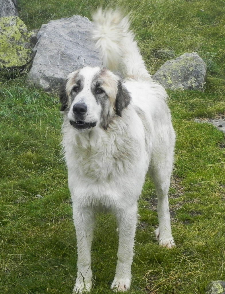 Massive Pyrenean shepherd dog breed threatening people on Pyrenean Haute Route