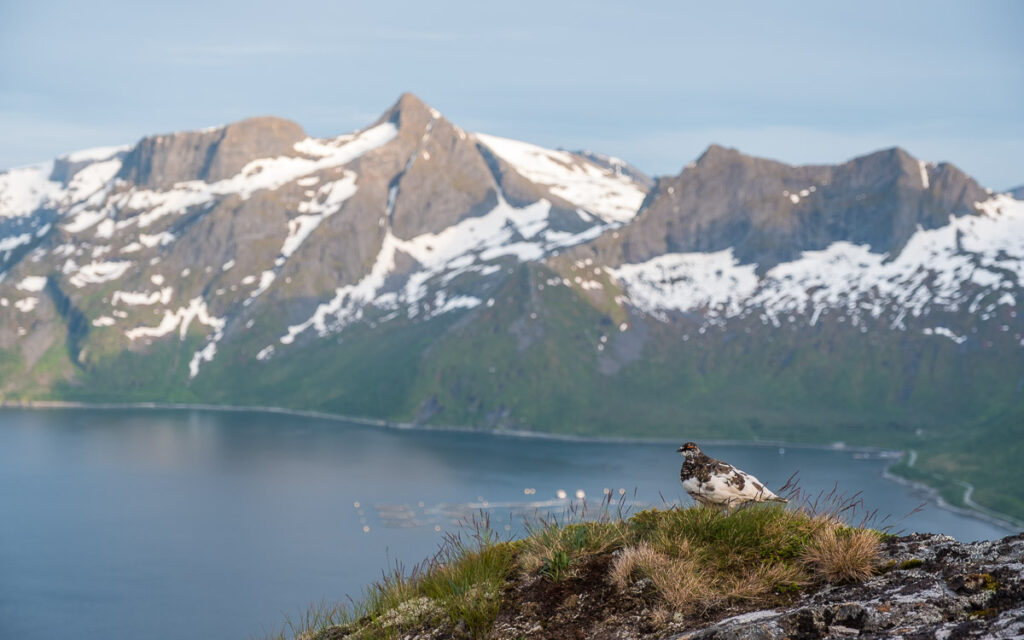 bird nesting on the cliff on the Senja island with high mountains and fjord in behind