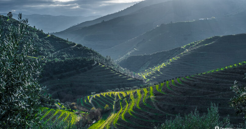 vineyards evoking a feeling like being in the ricefield with sunbeams touching terraced fields in Portugal