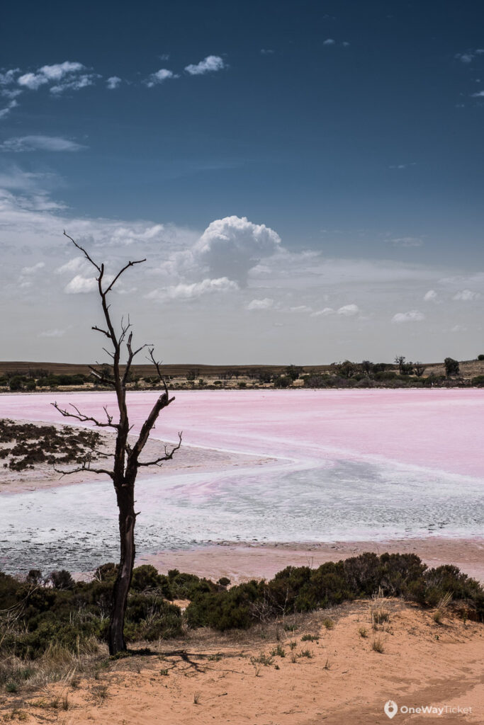 lonesome dry trea infront of pink lake in Australian Outback