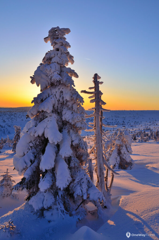 A spruce tree covered by the snow in Krkonose mountains with the setting sun in a background